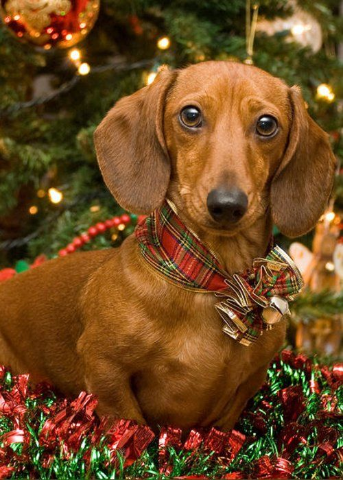 Christmas Red Dachshund Greeting Card For Sale By Mary Griffin