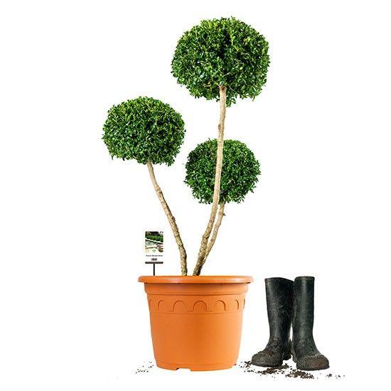 multi kugel auf stamm 8 jahre alt sch ne pflanzen pinterest kugel pflanzen und alter. Black Bedroom Furniture Sets. Home Design Ideas