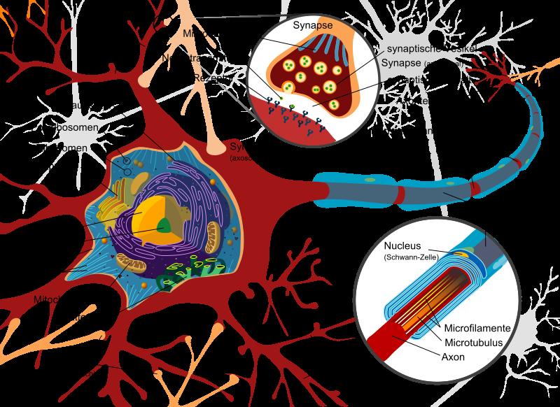 Typischer Aufbau eines Neurons Das Schema zeigt die