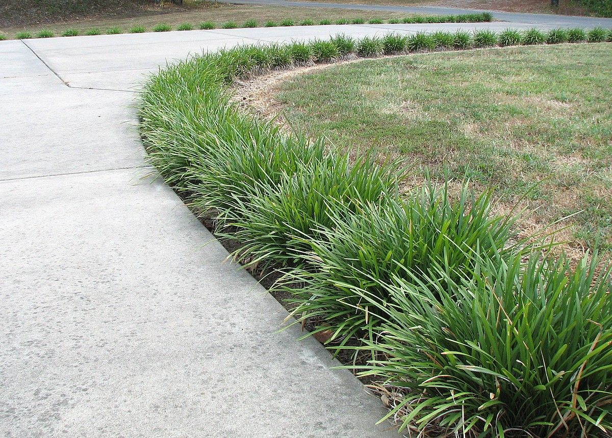 Love The Monkey Grass Lined Pathway Ornamental Grass 400 x 300