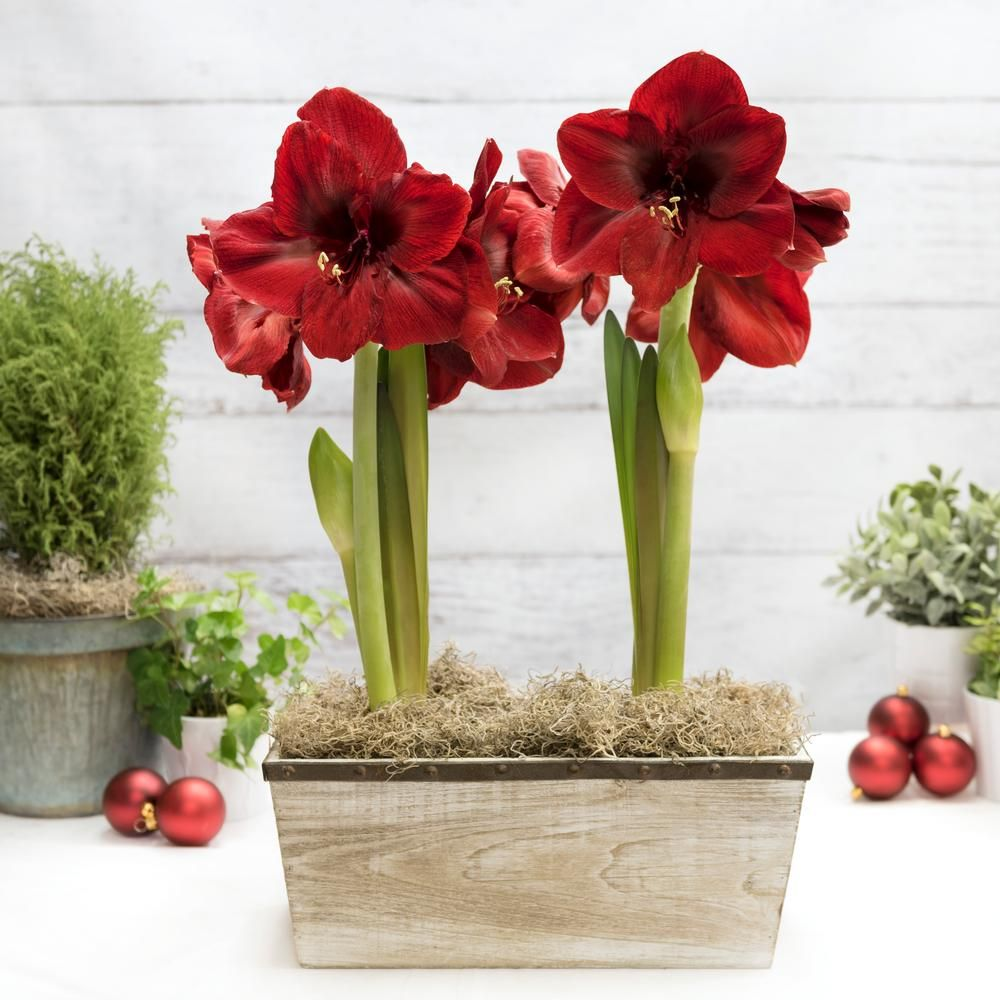 Grow Your Own Fresh Flowers This Winter Get Guaranteed Success With A Kit That Includes Two Jumbo Amaryllis Bulbs Amaryllis Bulbs Bulb Flowers Red Amaryllis