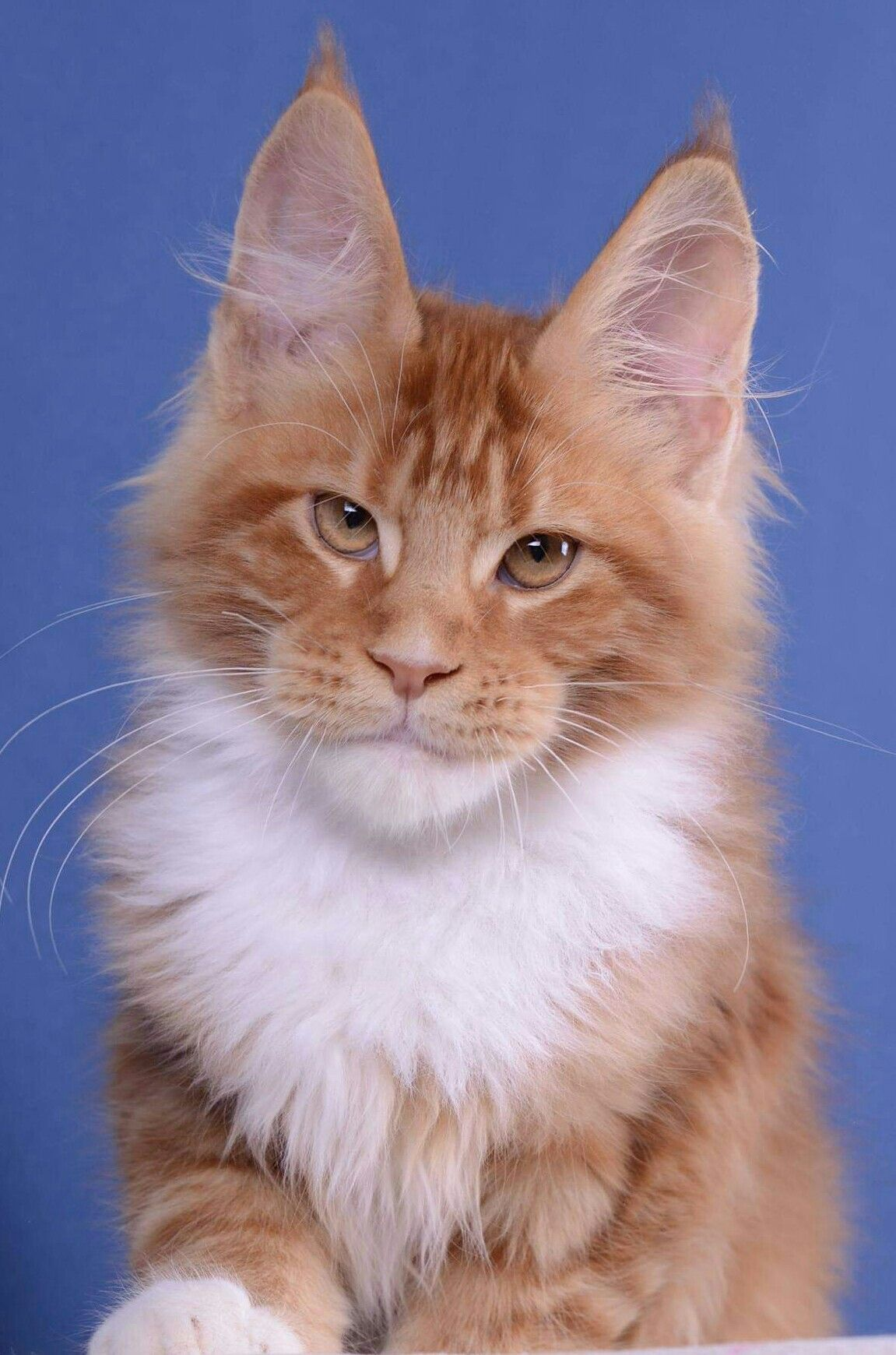 Uslav Akellaleader 4 Months Boy D 09 22 Available Beautiful Cats Cute Cats Cute Cats And Kittens