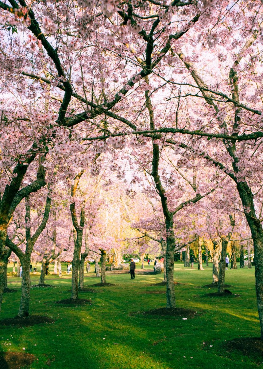 Cherry Blossom Park Poster By Bear Amber Art Displate Cherry Blossom Wallpaper Cherry Blossom Tour Blossom Garden