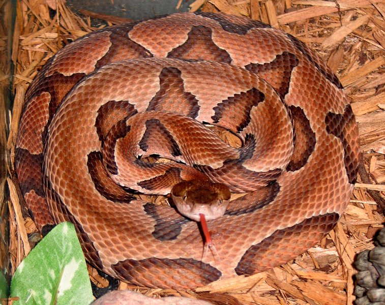 rattlesnake pictures the jungle store backyard nature the copperhead snake