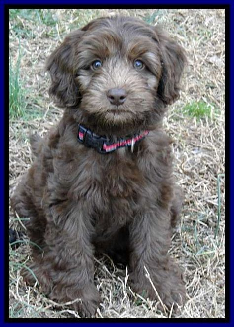 Southern Charm Labradoodles American And Australian Labradoodle