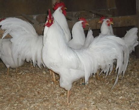 Charmant Chicken Breeds Egg Layers | Backyard Chickens U2013 The 5 Best Breeds For Egg  Layers