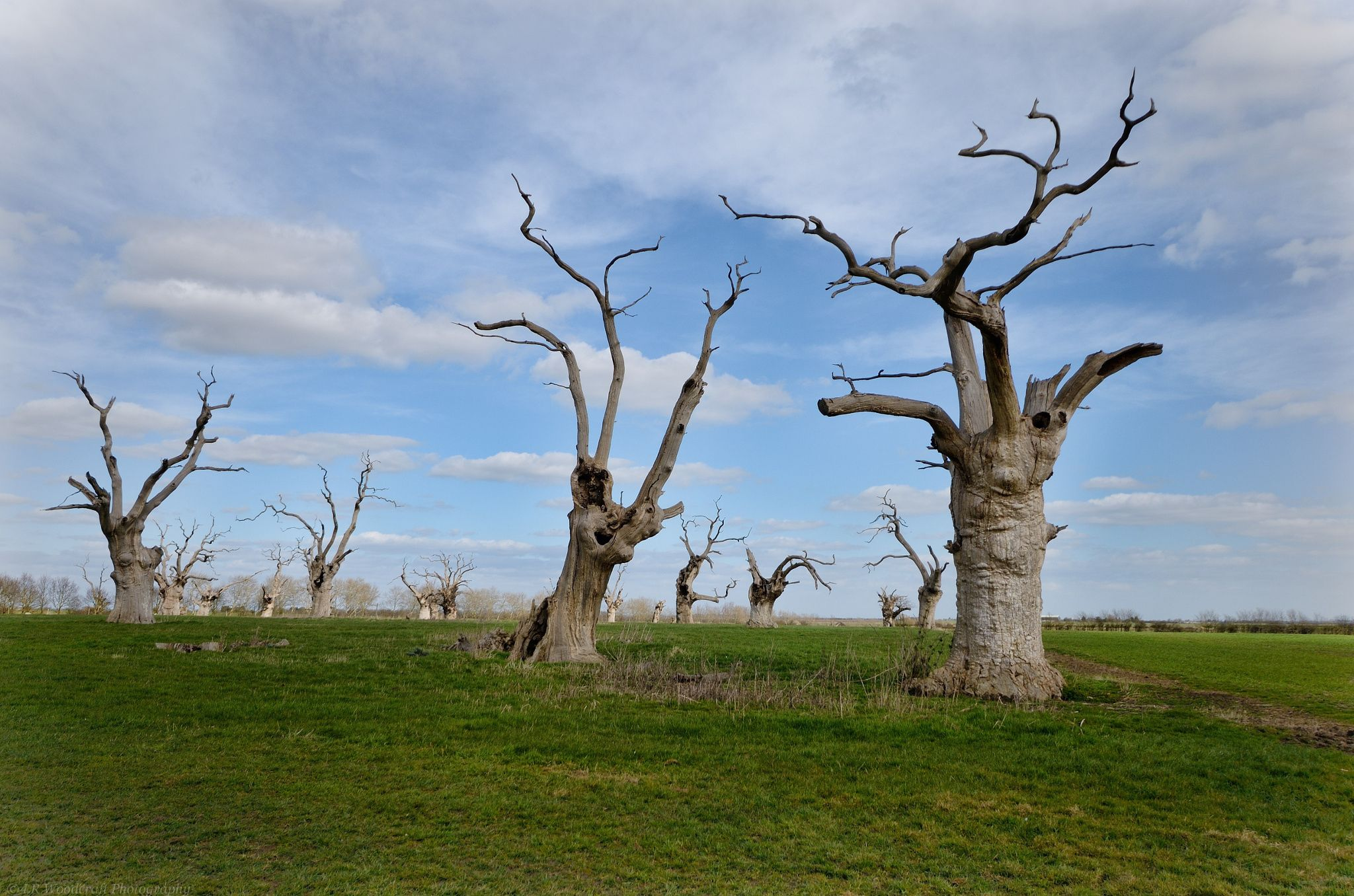 Oak tree graveyard - Mundon Essex