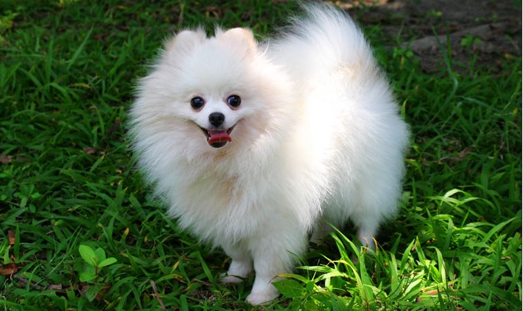 Wonderful German Spitz Canine Adorable Dog - 4136dee1d874924d2fbebb5b7f22b301  Pictures_783916  .jpg