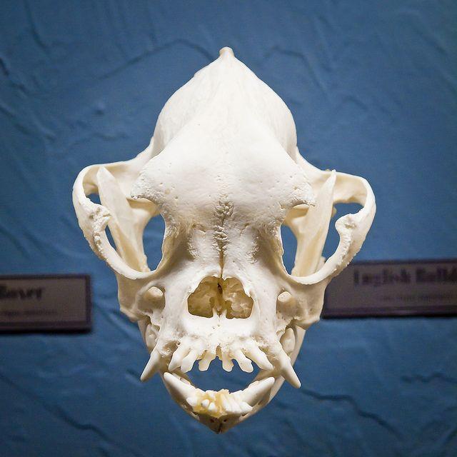 English Bulldog Skull | Skeletons, Anatomy and Animal anatomy