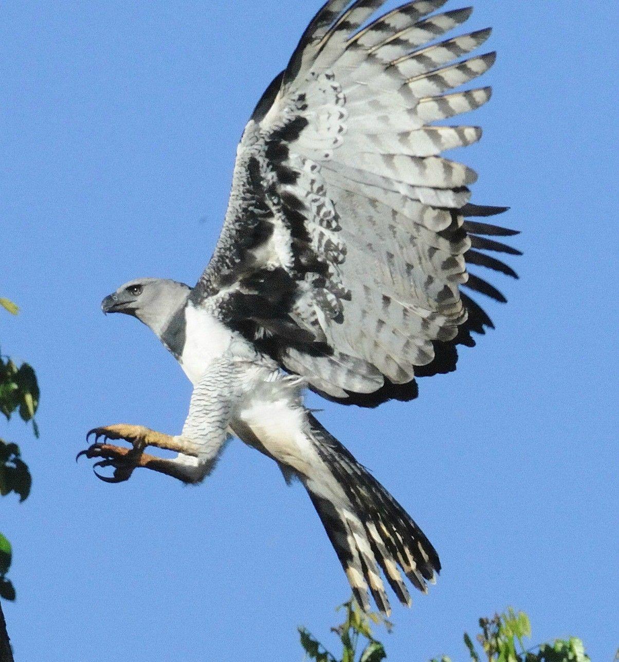 Resultado de imagem para harpy eagle wingspan