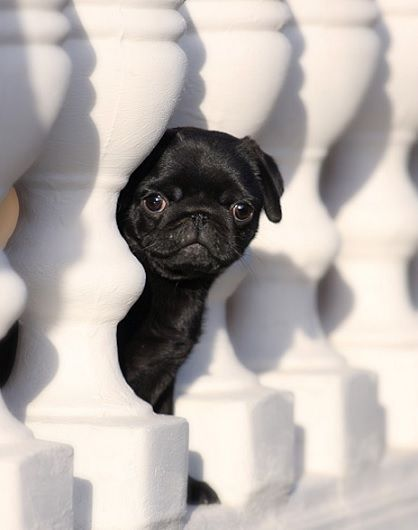 (3) Tumblr Black pug puppies, Pug puppies, Baby pugs