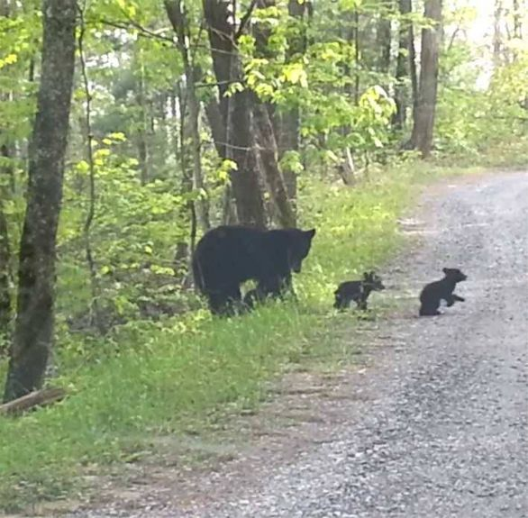 "Deb Lilly: ""Here is a Mama and two kids that I photographed in the Great Smoky Mountains, Tennessee."""