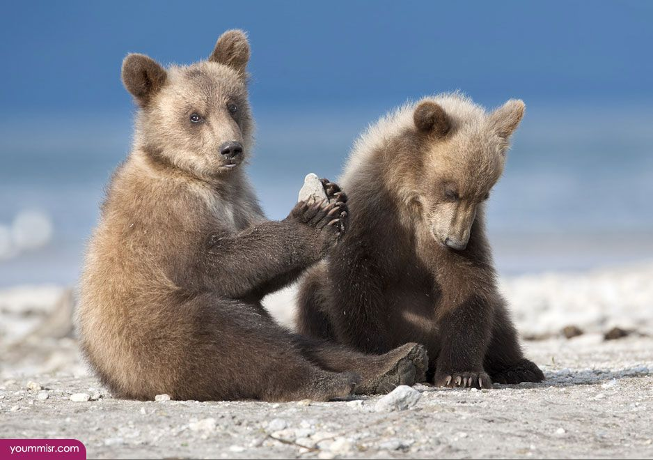 Facts about brown bears 2015 2016 Antarctic animals http://www ...