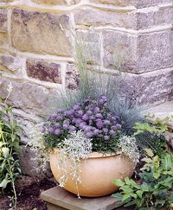 Scabiosa Japonica Alpina Ritz Blue 250 Seeds Perennials Patio Flower Pots Types Of Purple Flowers