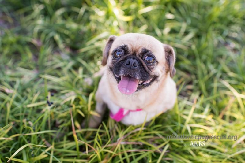 Adopt Snuggles On Snuggles Adoption Pug Rescue
