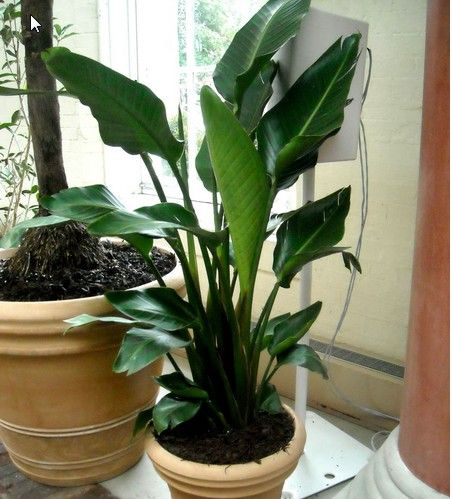 Large Indoor Plants Plants Pinterest Large Indoor