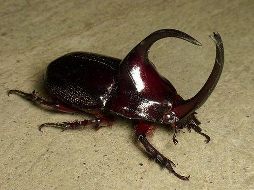 Pin On Beetles Of Ecuador
