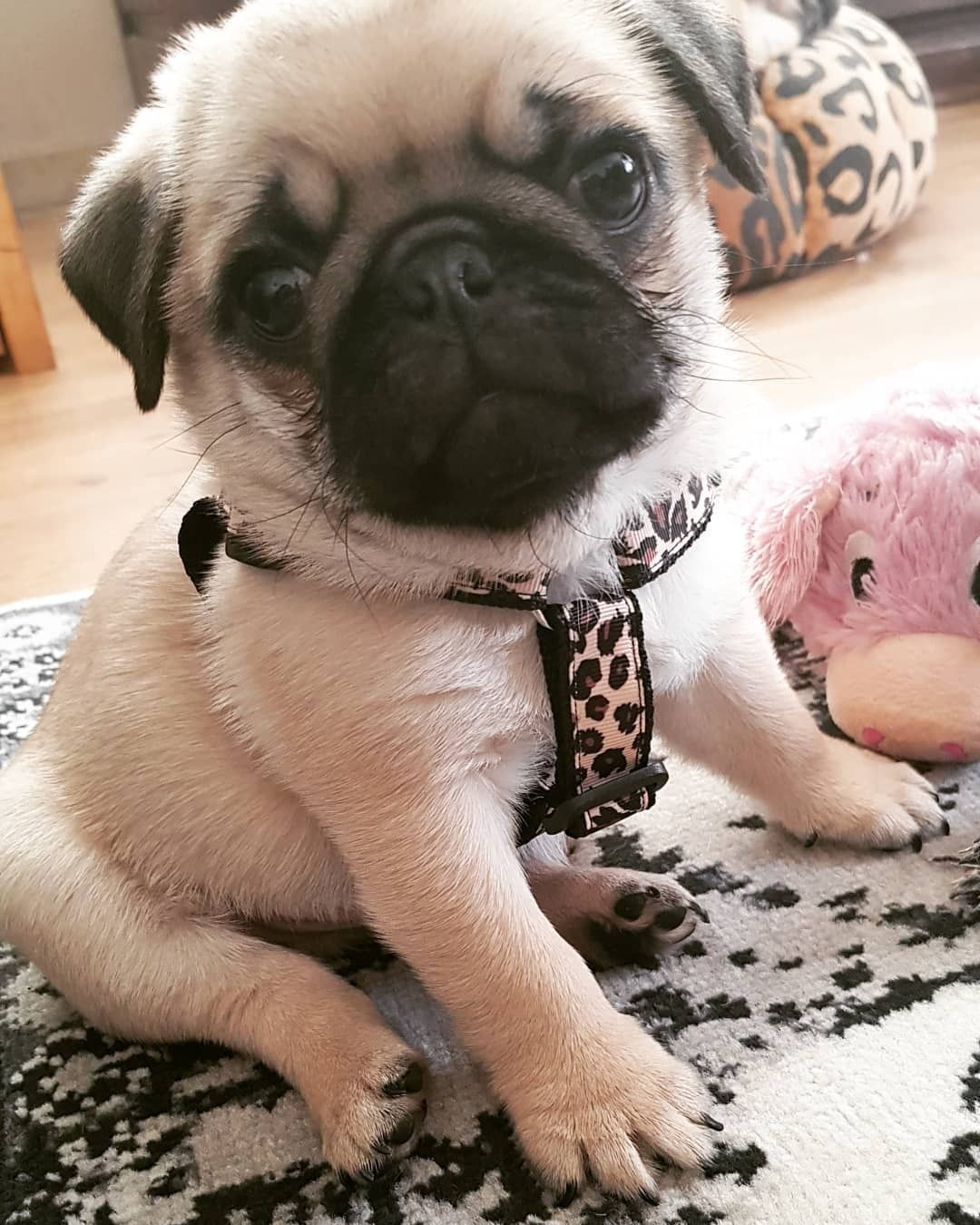 Animal Cuteness Image By Virginia Barends Cute Pug Puppies Cute