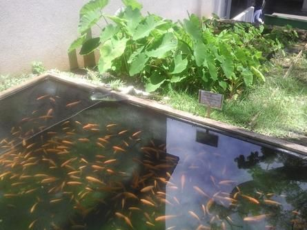Raising fish for food backyard fish farming for survival for Koi pond aquaponics
