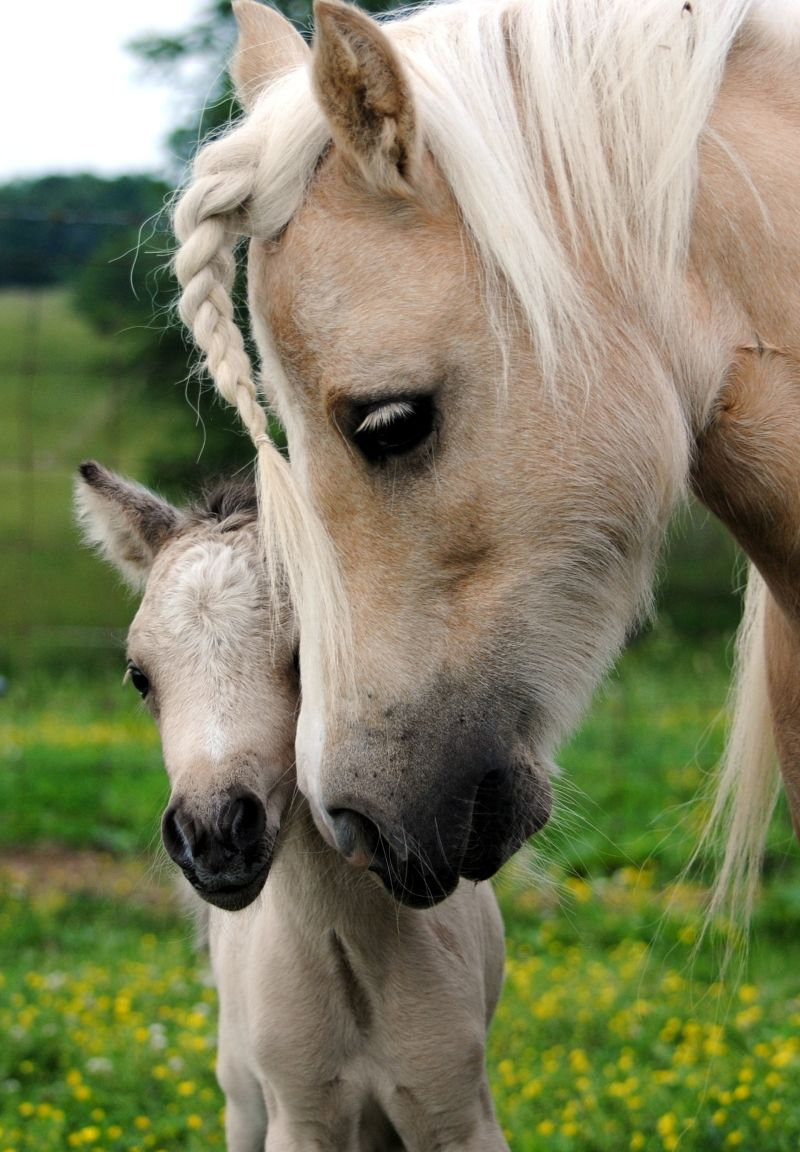 Miniature horse  Palomino mare with her sweet foal