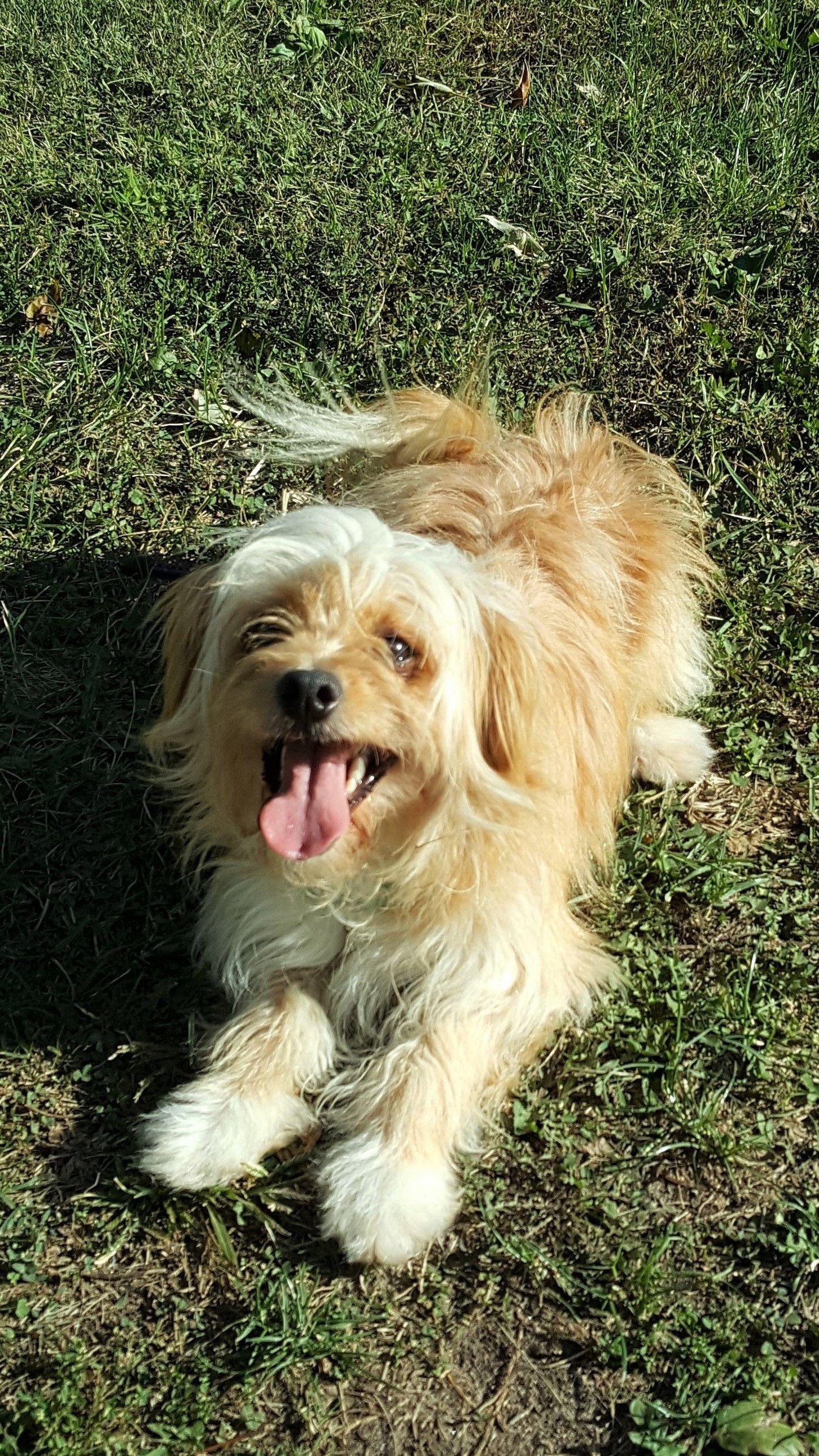Adopt Cinnamon On Petfinder Poodle Mix Dogs Help Homeless Pets Shih Tzu Poodle Mix
