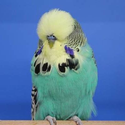 English Budgerigar (Budgie) bred by Daniel Lütolf, Switzerland - photo by Thomas Lautenschläger; an English budgie has fuller feathering around the face and is larger than the American parakeet and is often used in shows and exhibitions; they are related to parrots and can be extremely friendly, active and playful, and can even be taught to say a few words - info from englishbudgie
