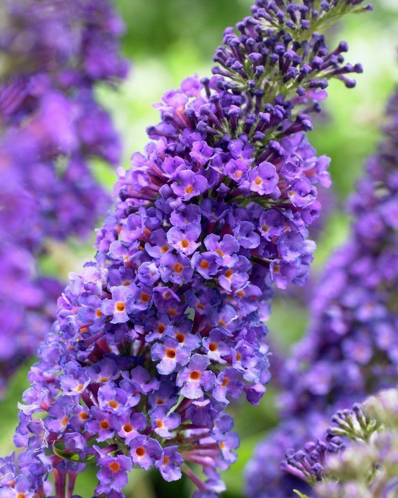 Sommerflieder Empire Blue Sommerflieder Pflanzen Flieder