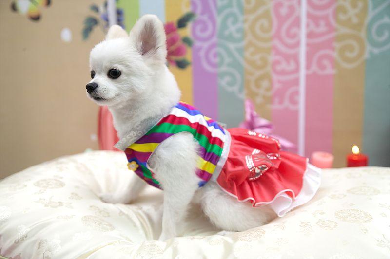 Redesigned pet clothes from Korea traditional costume Hanbok. www.goldenbimott.co.kr