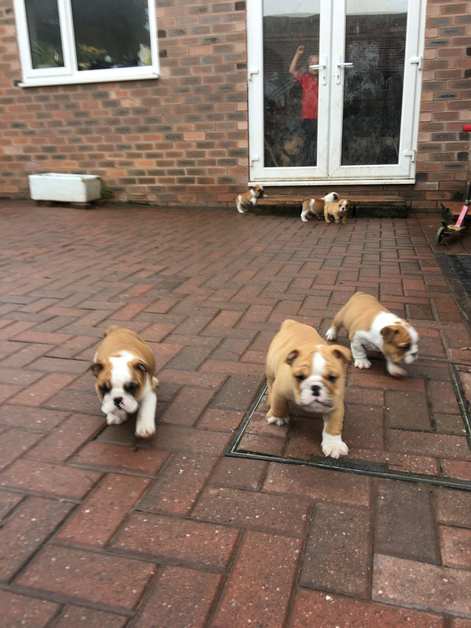 Cute English Bulldog Puppies For Sale Email Info Petshomehappy