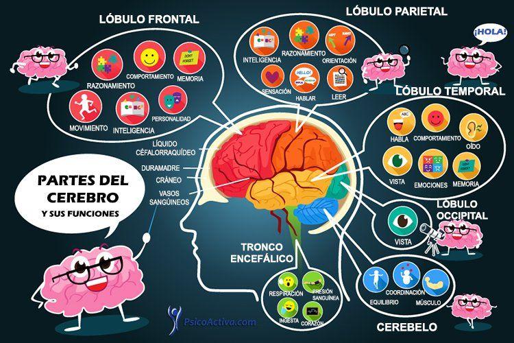 partes-cerebro-funcionessin-nombres | Infografías Psicología ...