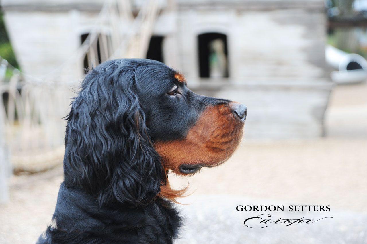 GordonSetter dogs Bestfriends Gordon setter, Dogs