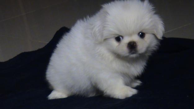 Puppyfinder.com: Mountain Feist puppies puppies for sale Missouri
