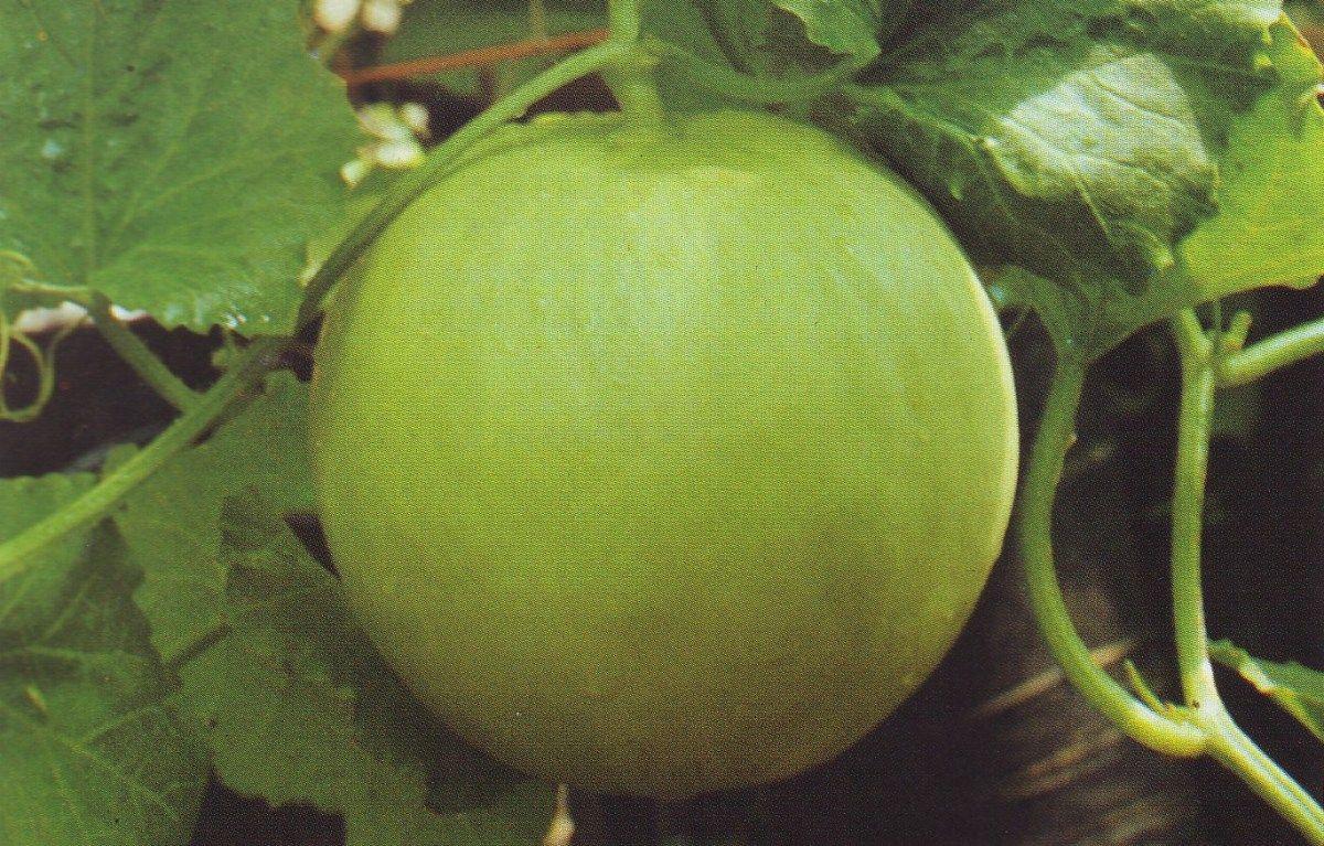 Hydroponic Melons Budidaya Tanaman Melon Secara Hidroponik Tanaman