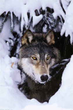 843190275 A unique howling animal wolf truly attracted to human beings through out  the history either by fear or dear. Images and posters of wolves through.