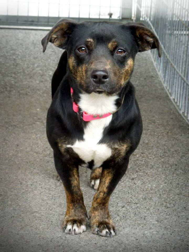 RESCUED!--BUSTER was surrendered along with his sister, TeeTee, and their 4 pups. Buster is said to be 1.5 yrs. old and neutered. He looks to weigh 15-25 lbs and is in need of #rescue or adoption from the Pocahontas County Animal Shelter in #Marlinton, #WV. Buster's family: https://www.facebook.com/media/set/?set=a.610327589077071.1073741960.257761584333675&type=3 For more info email: asapwva@gmail.com