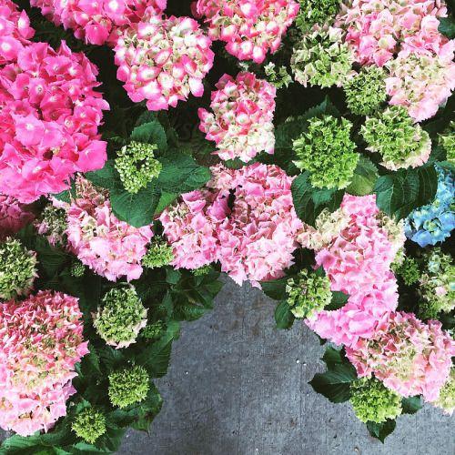 Zsazsabellagio Flower Market Flowers Green Hydrangea