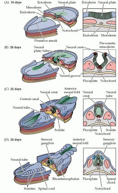 Figure 22 1 Neurulation In The Mammalian Embryo Medical Anatomy Medical Knowledge Medical School Studying