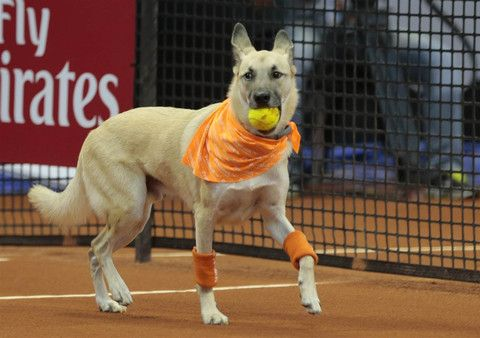 Professional Fetchers: Shelter Dogs Serve As Ball Boys At Brazilian Open