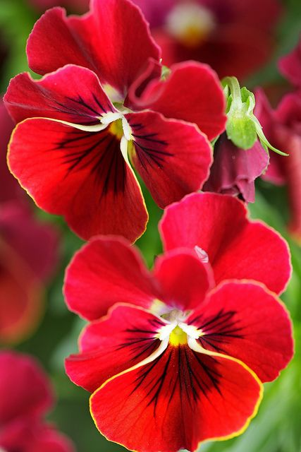 Pansy Beautiful Flowers Flowers Amazing Flowers