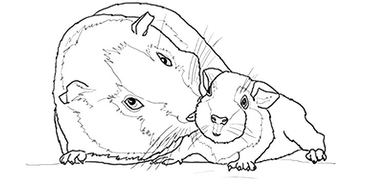 guinea pig coloring page # 26