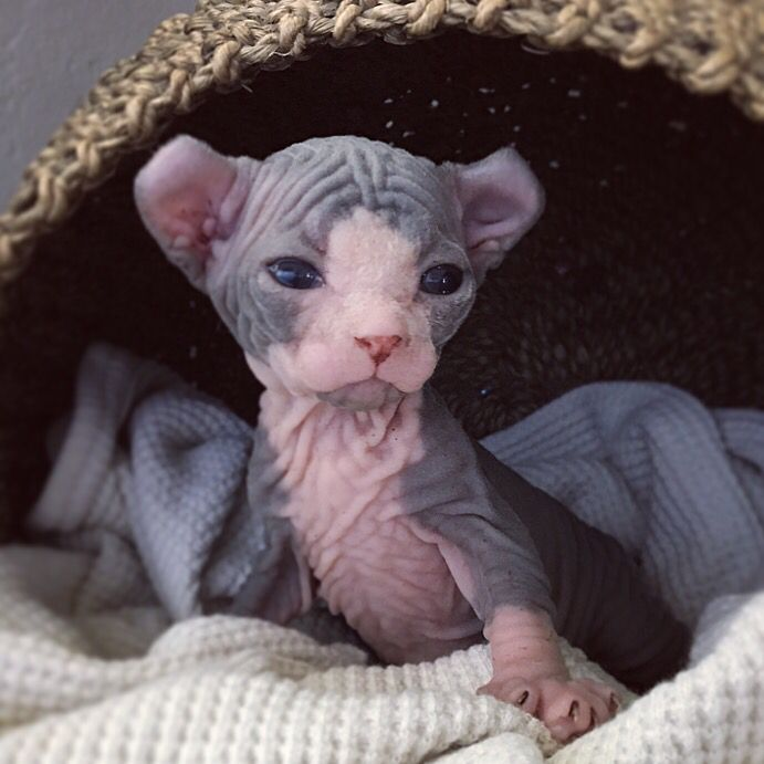 Hairless Elf Sphynx Kitten Only 2 Weeks Old Cats And Kittens