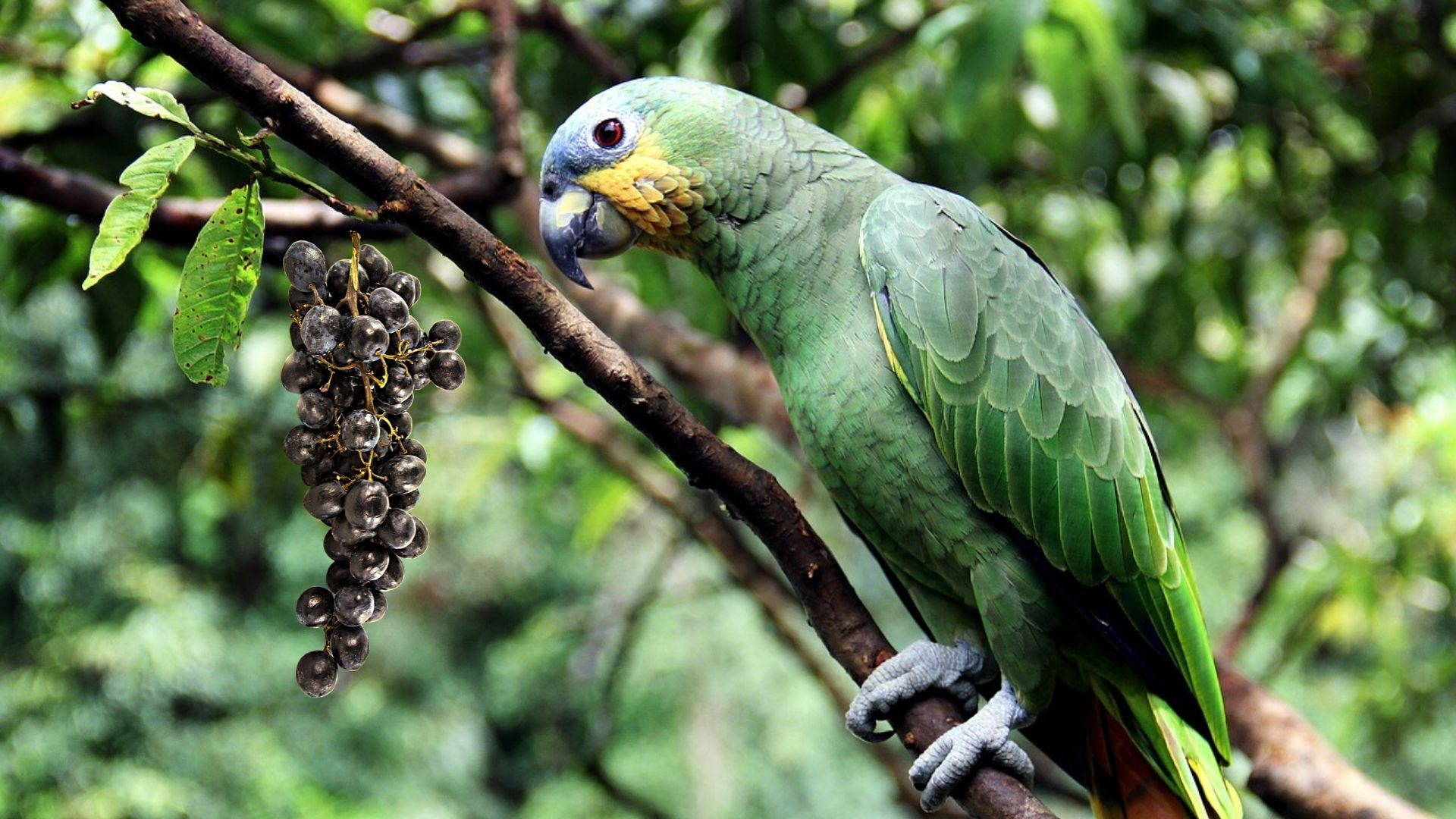 Can Parrots Eat Grapes In 2020 Parrot Pet Birds Birds