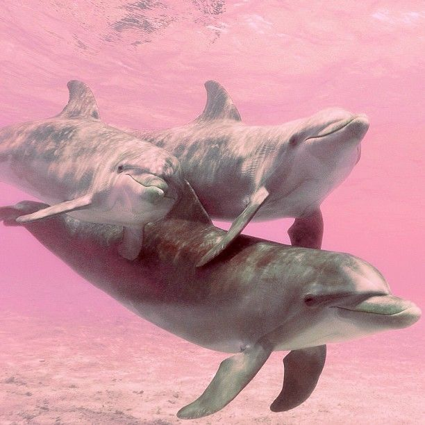 Bottlenose Dolphins In Caribbean Sea Pics And Wallpaper Free Download For Desktop Free Best Pics Dolphins Cute Animals Pink Ocean