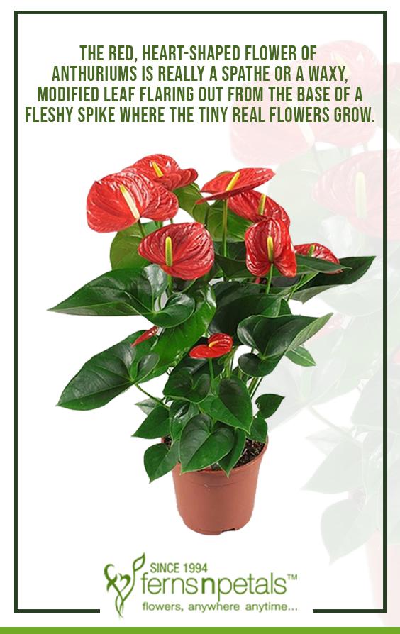 Anthurium Facts Plants Plants Plants Online Growing Flowers