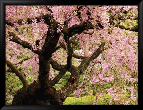Cherry Tree in Bloom, Portland Japanese Garden, Portland, Oregon, USA Photographic Print by Michel Hersen - AllPosters.co.uk
