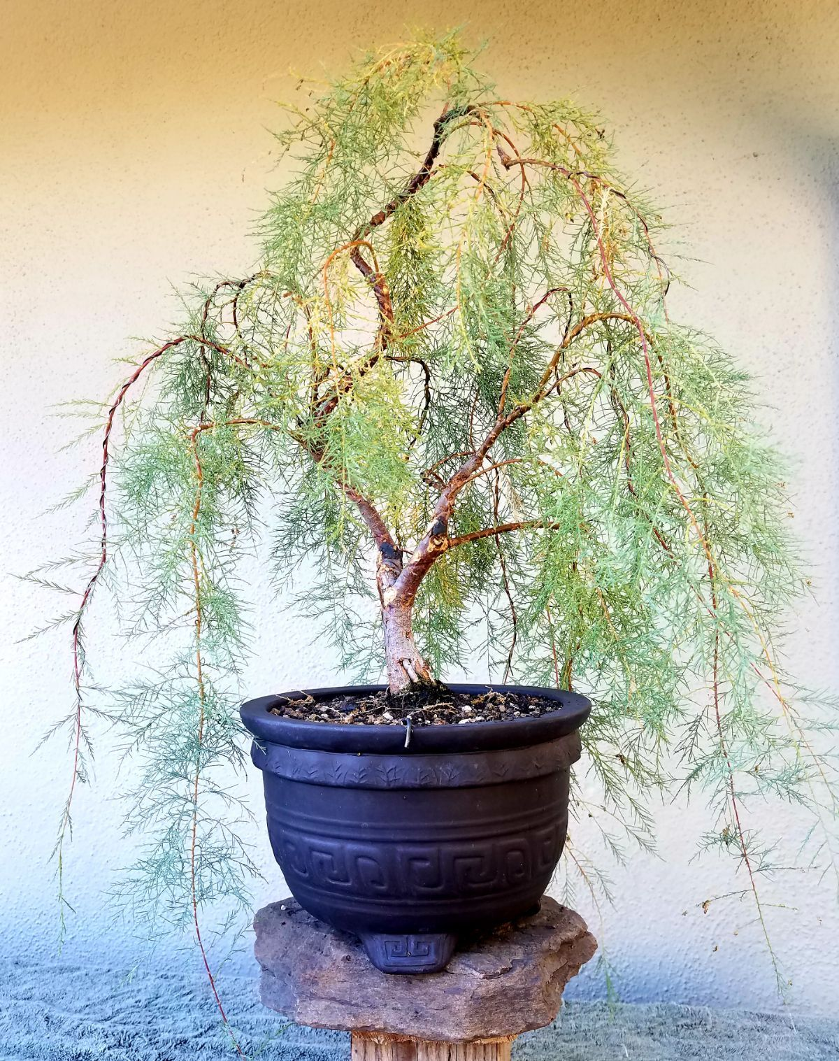 Excellent Picture 8 I Did Some Minor Pruning And Wiring On My Tamarisk Wiring Cloud Hisonuggs Outletorg