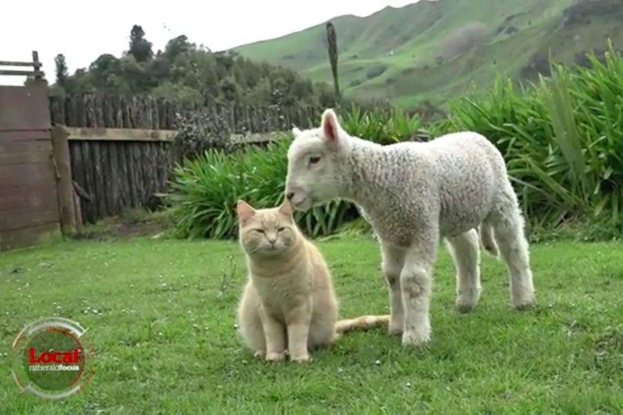 Steve, a báránybőrbe bújt macska