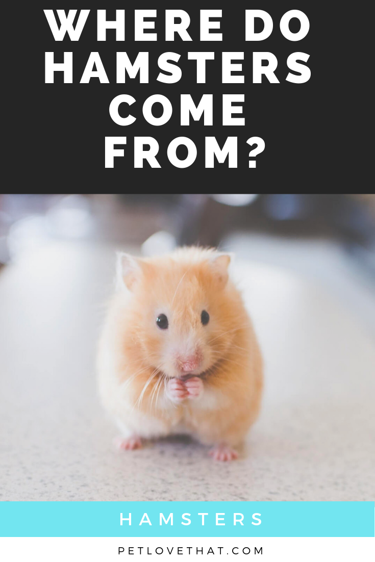 Where Do Hamsters Come From Hamster Pets Animals