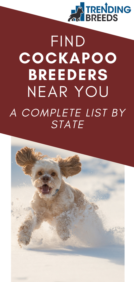Find Cockapoo Breeders Near You Complete List By State In 2020 Cockapoo Breeders Cockapoo Breeders