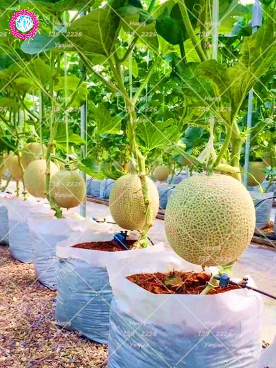 100pcs Bonsai Cantaloupe Seeds Health Organic Fruit Seeds Cantaloupe Melons Sweet Vertical Vegetable Gardens Backyard Vegetable Gardens Vegetable Garden Design Check out our cantaloupe selection for the very best in unique or custom, handmade pieces from our gardening & plants shops. pinterest